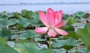 شکفتن گلهای نیلوفر آبی تالاب انزلی + عکس