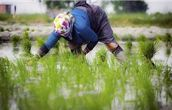 وضعیت قیمت خرید تضمینی برنج در خوزستان و نارضایتی برنجکاران