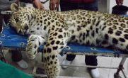 بهبودی لورا پلنگ زخمی سزار / انتقال از تهران به لرستان