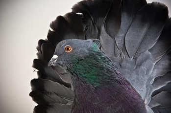 زیباترین کبوترها از نژادهای مختلف + عکس