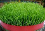 روش درست کردن سبزه نوروز / سبز کردن گندم