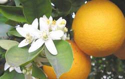 Citrus aurantium عرق بهار نارنج