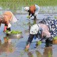 خرید توافقی برنج از شالیکاران شمال کشور