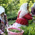 بهبود وضعیت چای / پایان برداشت تابستانه برگ سبز چای