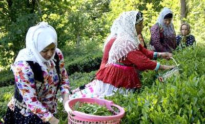 برداشت و فروش چای در لاهیجان