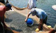 رهاسازی ۳ میلیون بچه ماهی در تالاب صومعه سرا