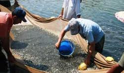 رها سازی 3 میلیون بچه ماهی در صومعه سرا